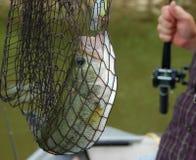 пойманный сетью бас Стоковые Фото