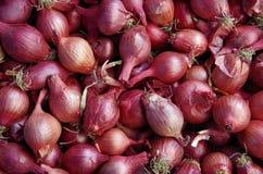 Показанные шалоты рыжеватого пурпура Стоковые Фотографии RF