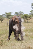 показ силы африканского слона Стоковое фото RF