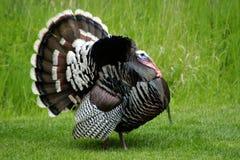 Показ Тома Турции Стоковые Изображения RF