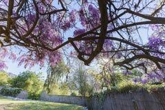 Показ цветения Wistaria мира самый старый Стоковое фото RF