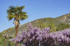 Показ цветения Wistaria мира самый старый Стоковое Изображение RF