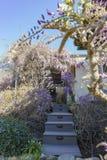Показ цветения Wistaria мира самый старый Стоковая Фотография