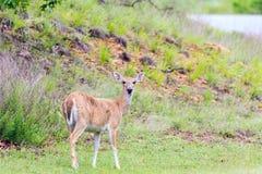 Пока-замкнутые олени фуражируя в парке штата наконечника в канадце, Оклахоме стоковое изображение rf