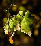 покидает виноградник Стоковое фото RF