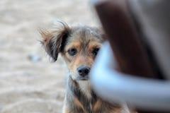 Покинутая бездомная собака смотрит прищурясь ринв стул на пляже Стоковое Изображение RF