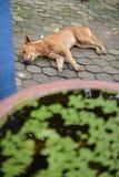 Покинутая бездомная бездомная собака спать на улице Стоковые Изображения RF