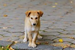 Покинутая, бездомная бездомная собака стоит в улице Немного унылый, Стоковое Фото