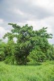 Покинутое большое дерево Стоковое Изображение RF