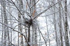 Покинутое пустое гнездо птицы на ветви в зиме с снегом Стоковые Фотографии RF