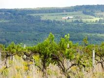 Покинутые виноградные вина виноградника растут бесхозными в озере Keuka стоковое фото rf