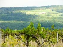Покинутые виноградные вина виноградника растут одичалыми в области озера Keuka стоковые фото