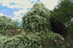 Покинутый амбар будучи заглатыванным огромным взбираясь заводом Стоковые Фотографии RF