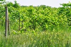 Покинутый виноградник Стоковая Фотография RF