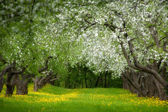 покинутый сад яблока Стоковое Фото