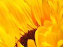 поклонение солнца Стоковые Изображения RF
