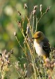 Поколение певчей птицы ` s Brewster первое на Thistle Буше стоковое изображение