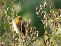Поколение певчей птицы ` s Brewster смотря к своей левой стороне садилось на насест на Thi стоковое фото rf