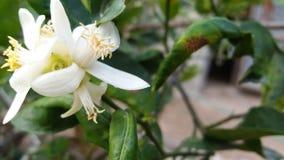 Поколение цветения известки белое молодое 1 стоковое изображение rf