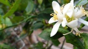 Поколение цветения известки белое молодое стоковое изображение rf