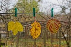 3 покрасили сухие упаденные листья на зажимках для белья вися на проводе Стоковые Изображения RF