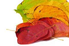 Покрасьте вентилятор от листьев осени, изолированных на белой предпосылке, clo Стоковое Изображение