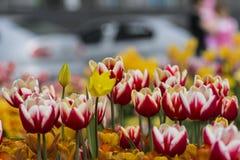покрасьте желтый цвет тюльпана красной весны fuschia цветков большой Стоковое Фото