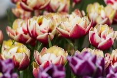 покрасьте желтый цвет тюльпана красной весны fuschia цветков большой Стоковые Изображения