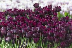 покрасьте желтый цвет тюльпана красной весны fuschia цветков большой Стоковое Изображение RF