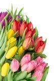 покрасьте желтый цвет тюльпана красной весны fuschia цветков большой Весна букета свежая зацветает падения воды Стоковая Фотография RF