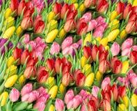 покрасьте желтый цвет тюльпана красной весны fuschia цветков большой Свежие цветеня весны с падениями воды Стоковая Фотография