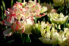 покрасьте желтый цвет тюльпана красной весны fuschia цветков большой Стоковые Фотографии RF