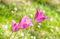 покрасьте желтый цвет тюльпана красной весны fuschia цветков большой Стоковая Фотография RF