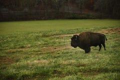 Покрасьте изображение буйвола в луге Стоковое фото RF