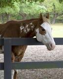 Покрасьте лошадь в Paddock Стоковые Фотографии RF