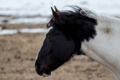 Покрасьте лошадь в shaggy пальто зимы смотря далеко от камеры Стоковые Изображения RF