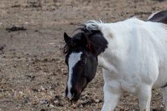 Покрасьте лошадь в shaggy съемке midium пальто зимы Стоковая Фотография