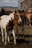 Покрасьте лошадь в загоне на ранчо Стоковое фото RF
