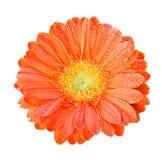 покрасьте gerber цветков померанцовым Стоковая Фотография RF