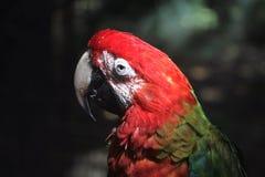 Покрашенная ара Стоковые Фотографии RF