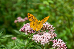 Покрашенная бабочка дамы (Ванесса Cardui) стоковое изображение rf