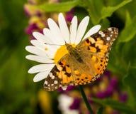 Покрашенная бабочка дамы сидя на маргаритке Стоковая Фотография
