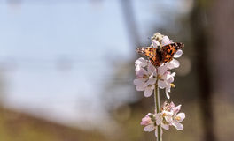 Покрашенная бабочка дамы, cardui Ванессы, в саде бабочки дальше Стоковое Изображение RF