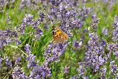 Покрашенная бабочка дамы на зацветая лаванде Стоковое Изображение RF