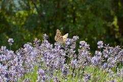 Покрашенная бабочка дамы на зацветая лаванде Стоковые Изображения