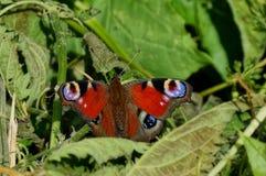 Покрашенная бабочка сидит на зеленых листьях завода Стоковые Изображения RF