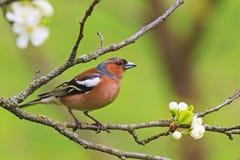 Покрашенная воробьинообразная птица сидя на ветви цветков Стоковое Изображение