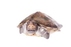 Покрашенная водяная черепаха реки на белой предпосылке Стоковое фото RF