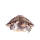 Покрашенная водяная черепаха реки на белой предпосылке Стоковая Фотография