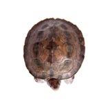 Покрашенная водяная черепаха реки на белой предпосылке Стоковая Фотография RF